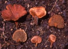 17.-Coltriciella-navisporus-basidiomata