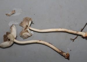 Amanita aff calopus