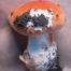 Amanita-aurantiobrunnea-2-e1314015371209