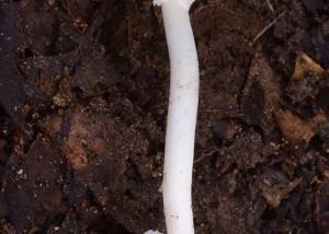 Amanita cf elegans