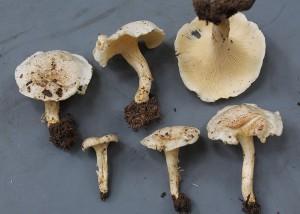 Cantharellus albosquamosus