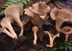 Cantharellus cf. densifolius
