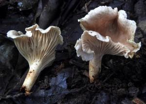 Cantharellus griseoisabellinus