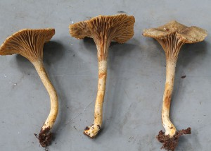 Cantharellus isabellinus