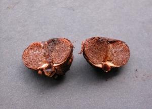 Castellanea pakaraimophila