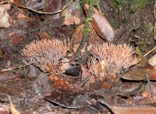 Clavulina-amazonensis-Corner-field-habit
