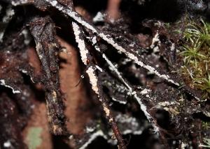 Clavulina cerebriformis