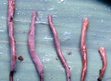 Clavulina-humicola