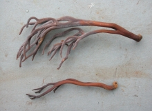 Clavulina_guyanensis