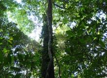 Coccoloba-aff.-marginata-liana-Mabura-Ecological-Reserve