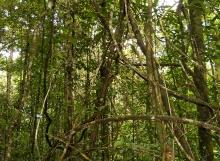 Coccoloba-excelsa-liana-complex-Mabura-Ecological-Reserve