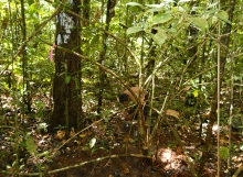 Coccoloba-excelsa-root-sampling-Mabura-Ecological-Reserve
