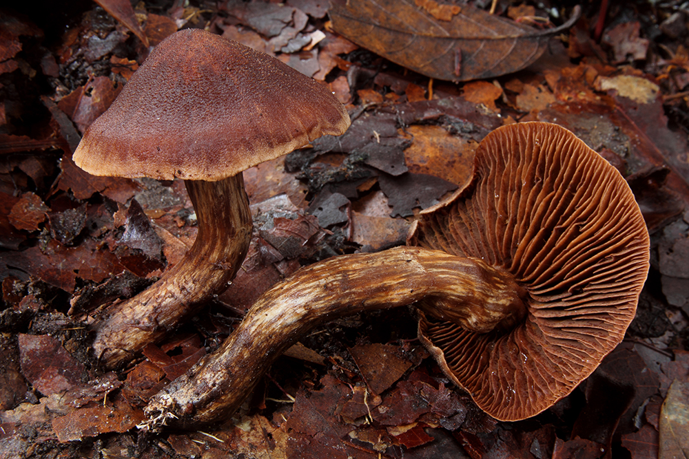 Cortinarius LB sp. 5