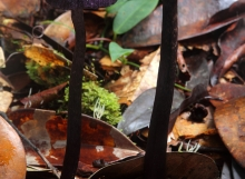 Cortinarius altissimus