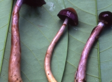 Cortinarius-sp.-2-myx1-TH-8219-e1314019102731