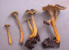 Craterellus-olivaceoluteus-Holotype-TH9205