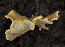 Craterellus pleurotoides