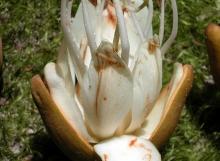 D-corymbosa-flower