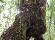 D.-corymbosa-adventitious-roots