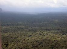 D.-corymbosa-monodominant-forest-Upper-Potaro-Basin