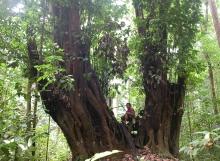 Dicymbe-corymbosa-Chris-Andrew-Upper-Potaro