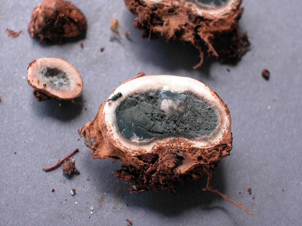 Elaphomyces adamantinus