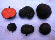 Guyanagaster-necrorhiza-Holotype-TH9065