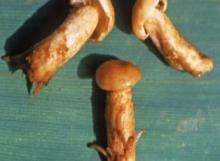 Inocybe-enigmata-Holotype-MCA1868