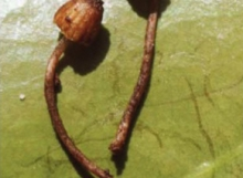 Inocybe-lepidotella-Holotype-MCA1881