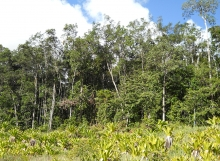 Pakaraimaea-dipterocarpaceae-fringing-forest-Ayanganna-savannas