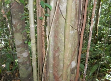Pakaraimaea-dipterocarpaceae-natural-coppicing