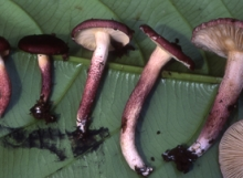 Russula-gelatinivelata-TH8233