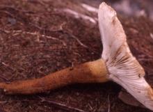 Russula-paxilliformis-TH7657