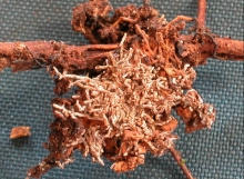 Russula-sp.-5-D.-corymbosa-70821