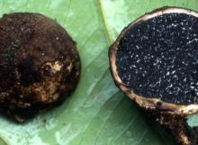 Sclerodermataceae-sp.-1
