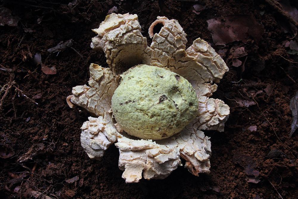 Sclerodermataceae sp. 2