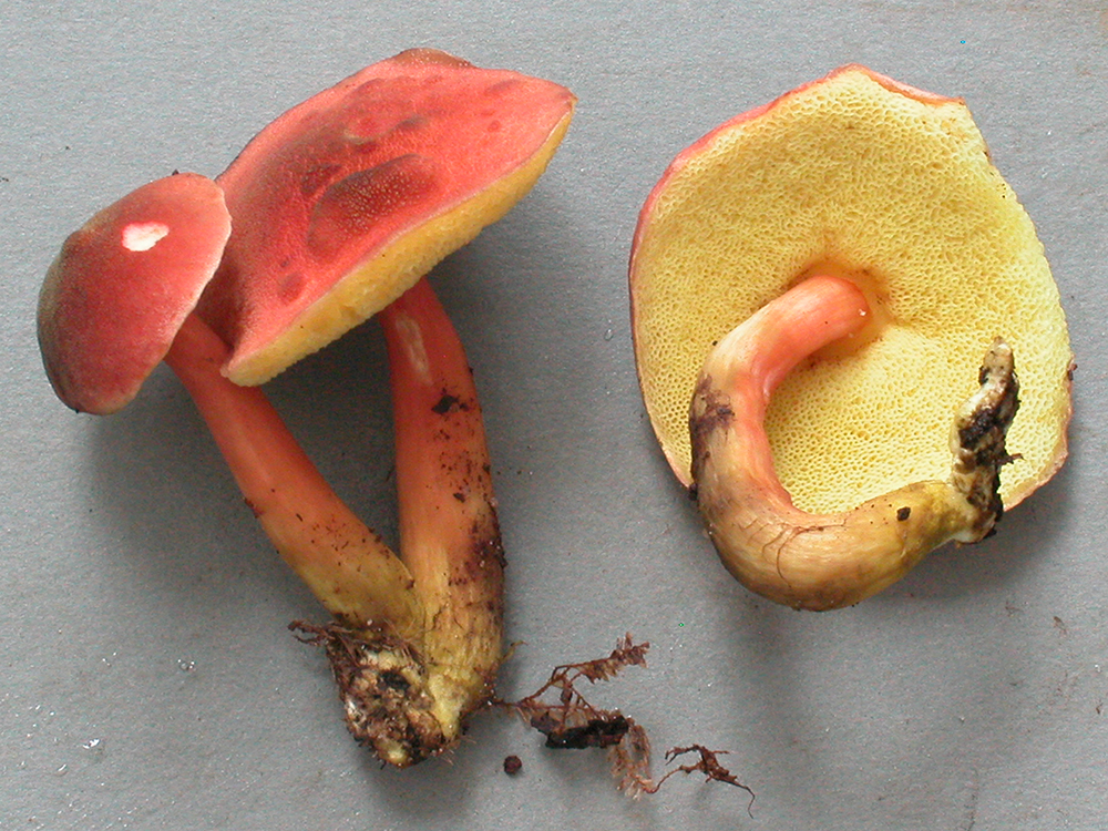 Singerocomus inundabilis