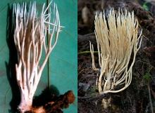 Tremellodendron-ocreatum
