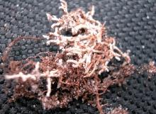 Tylopilus-potamogeton-v.-irengensis