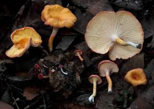 Cantharellus miniatescens