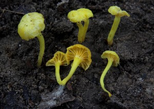 Cantharellus sp. 15