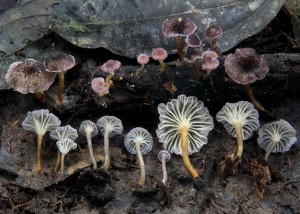 Cantharellus sp. 17
