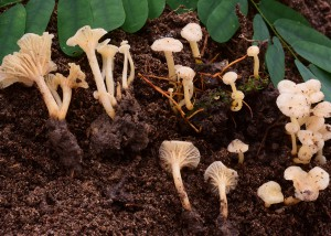 Cantharellus sp. 19