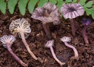 Cantharellus sp. 20