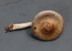 Cortinarius sp. 3 A