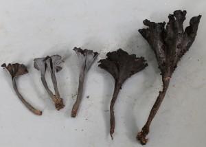 Craterellus sp. 6