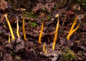 Craterellus sp. 7