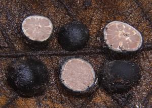 Elaphomyces iuppitercellus