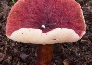 Gyroporus sp. 3