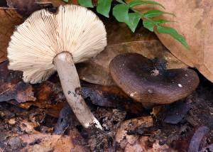 Lactarius sp. 3